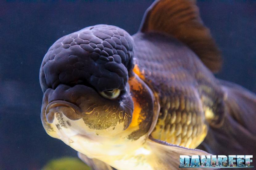 PetsFestival 2017: goldfish experience - pesce rosso testa di leone