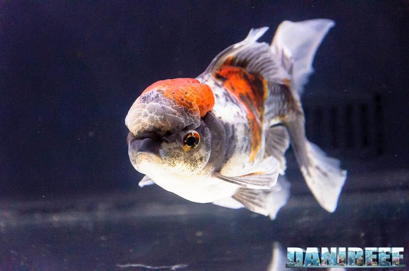 PestFestival 2017: GoldFish Experience