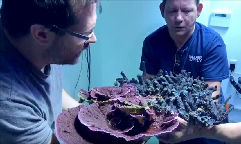 La ricostruzione dell'acquario di Marc Levenson - Melev's Reef - qui una Montipora gigantesca