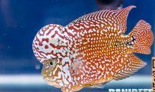 Il Ciclide flowerhorn, la passione degli acquariofili asiatici