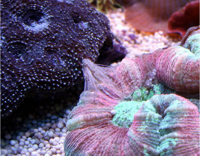 Acanthastrea echinata che secerne i filamenti mesenterici a discapito di un corallo vicino