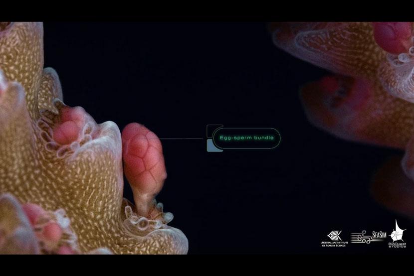 Il rilascio delle uova dei coralli in un nuovo supervideo macro girato sulla Grande Barriera Corallina Australiana