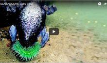 Un anemone che mangia un cormorano – video