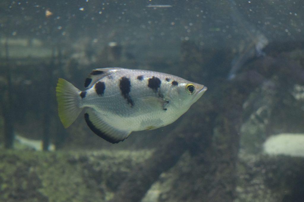 Archerfish (Toxotes jaculatrix)