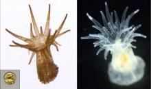 Scoperta alga simbionte mutante che rompe la simbiosi col corallo