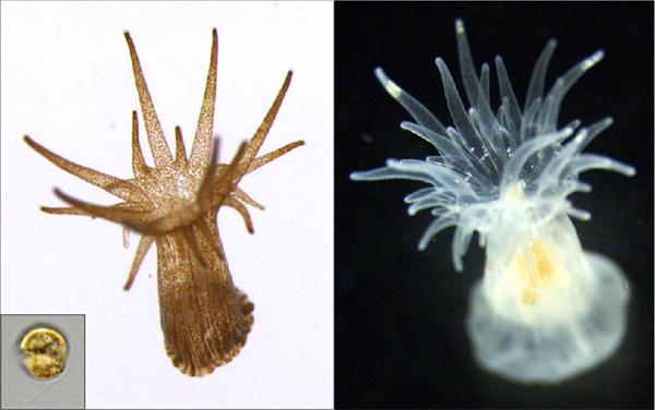 alghe simbionti su aiptasia