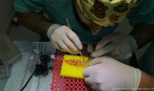 2 pesci pagliaccio curati chirurgicamente per un tumore – video