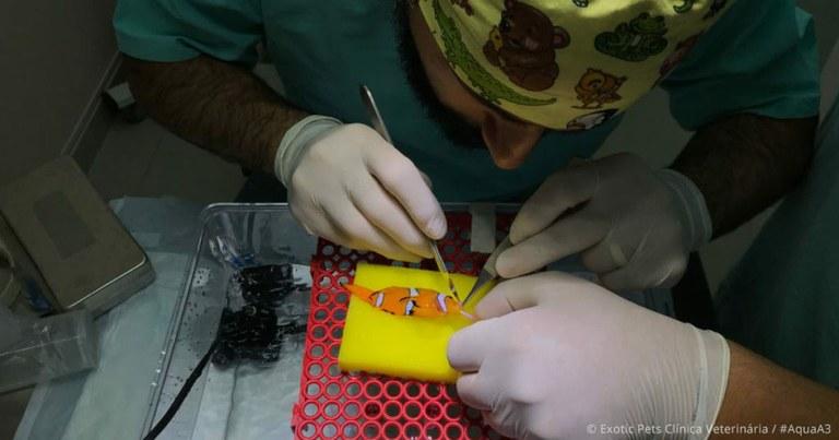 2 pesci pagliaccio operati per un tumore alla bocca