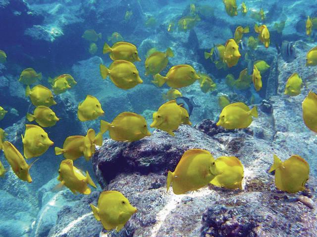Zebrasoma flavescens sui fondale delle Isole Hawaii