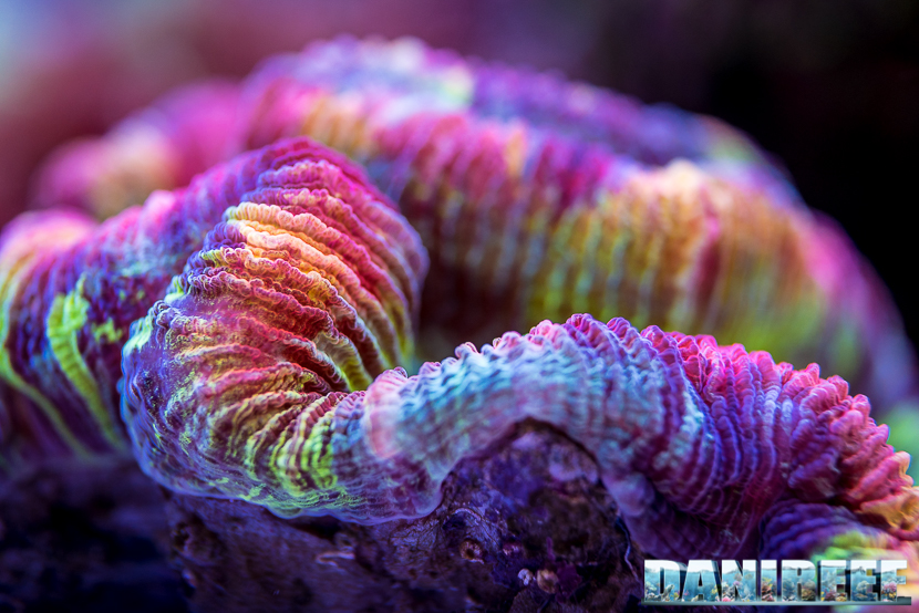 Interzoo 2018: lo stand DeJong MarineLife - Trachyphyllia