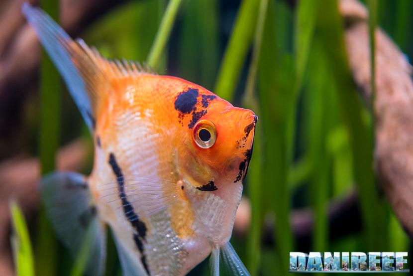 Pterophyllum scalare - pesce angelo - pesce scalare - particolare
