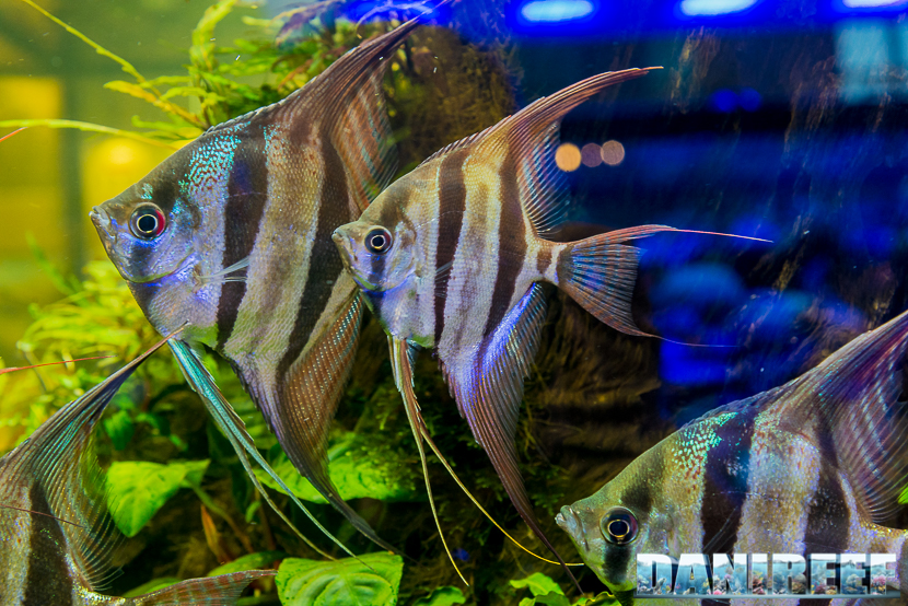 Interzoo 2018: Pterophyllum fish at AquaFlora booth