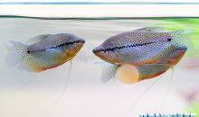Il Trichopodus leeri il pesce perlato