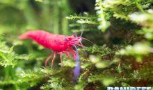 Neocaridine davidi Red Cherry: tutto ma proprio tutto sulle piccole ciliegine rosse