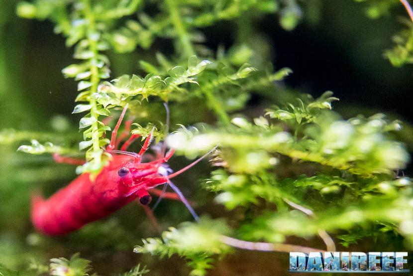 Neocaridine davidi Red Cherry le piccole ciliegine rosse