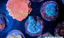 Le esportazioni dei coralli dall'Indonesia ripartono lunedì!