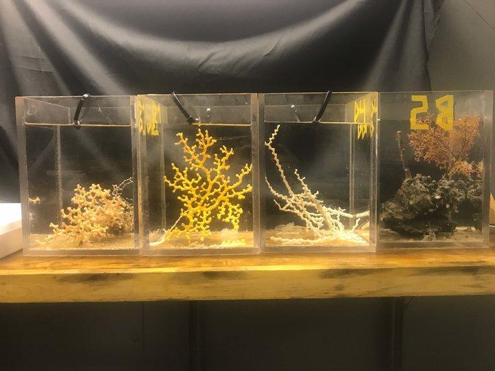 Ophelia pertusa, coralli scoperti nell'ambito della ricerca Deep Search