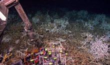 """Scoperta una """"gigantesca"""" barriera corallina al largo della costa della Carolina del Sud"""