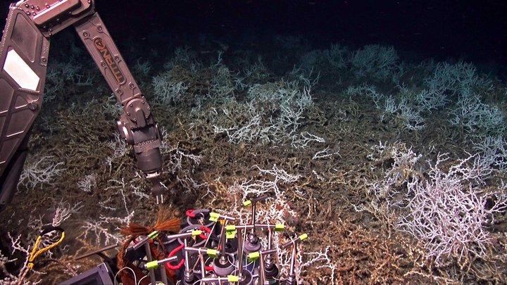 """Scoperta una """"gigantesca"""" barriera corallina di Lophelia pertusa al largo della costa della Carolina del Sud"""