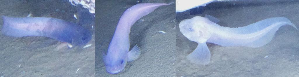 Nuove specie di pesci lumaca a 7500 metri di profondità