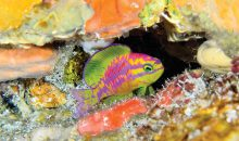 Un nuovo incredibile Anthias, il Tosanoides aphrodite