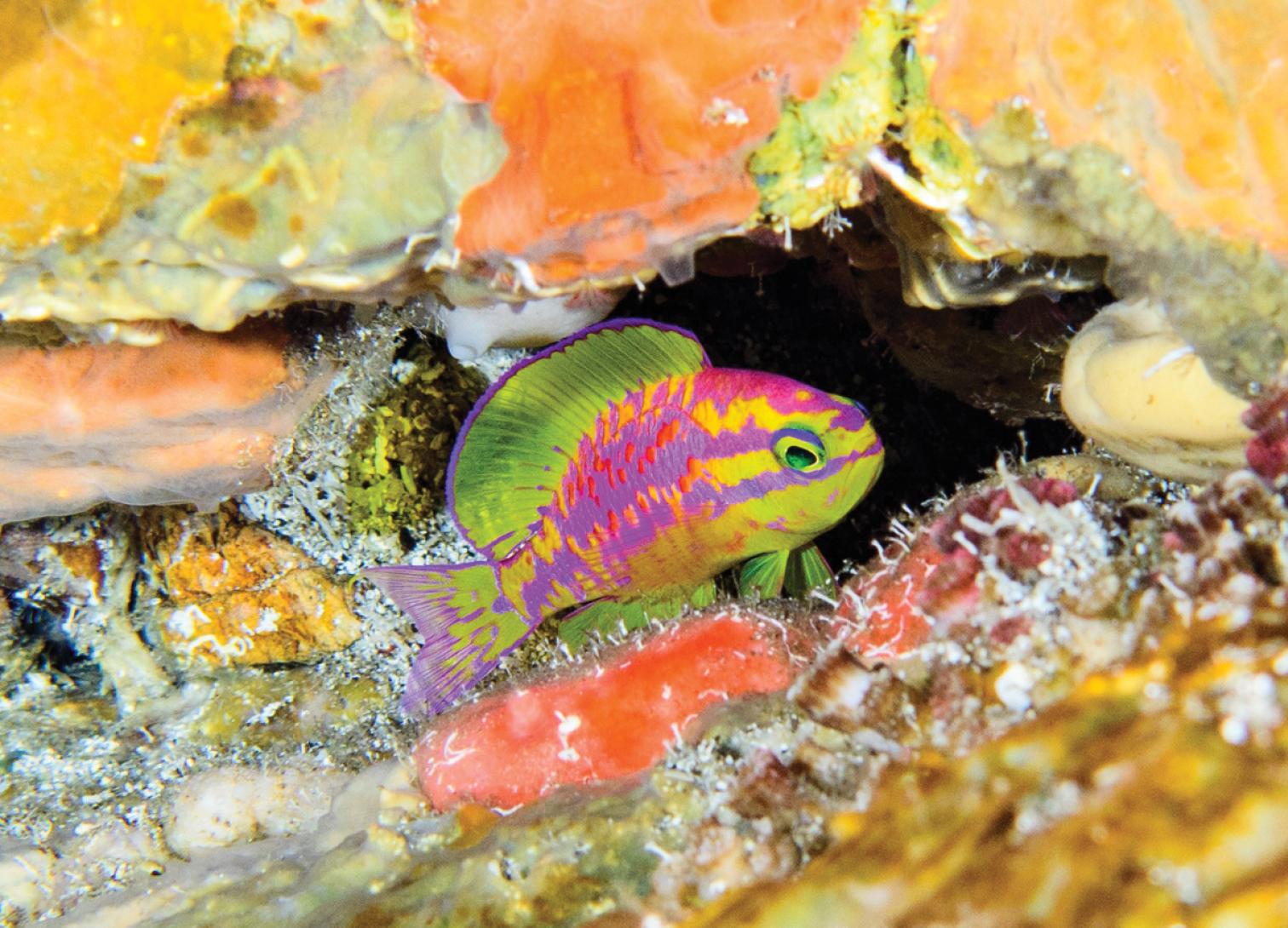 Tosanoides aphrodite una nuova incredibile specie di pesce della famiglia degli Anthias. Qui ripreso in natura