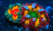 Epicystis crucifer – quando un anemone è più bello dei coralli
