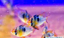 Il Mikrogeophagus ramirezi la gemma dell'Orinoco
