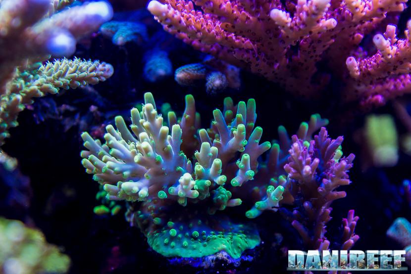 Acropora spp nell'acquario marino di Terence Fugazzi - Gilroy - California