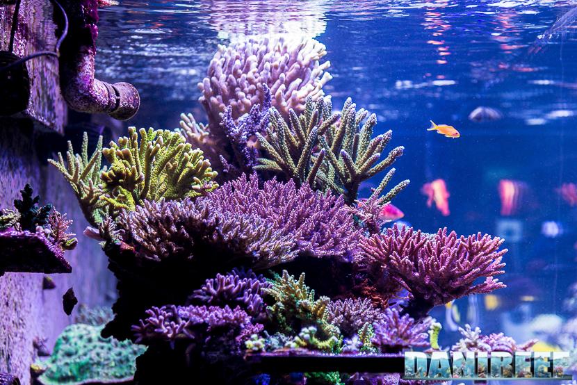 Coralli SPS nell'acquario marino di Terence Fugazzi - Gilroy - California