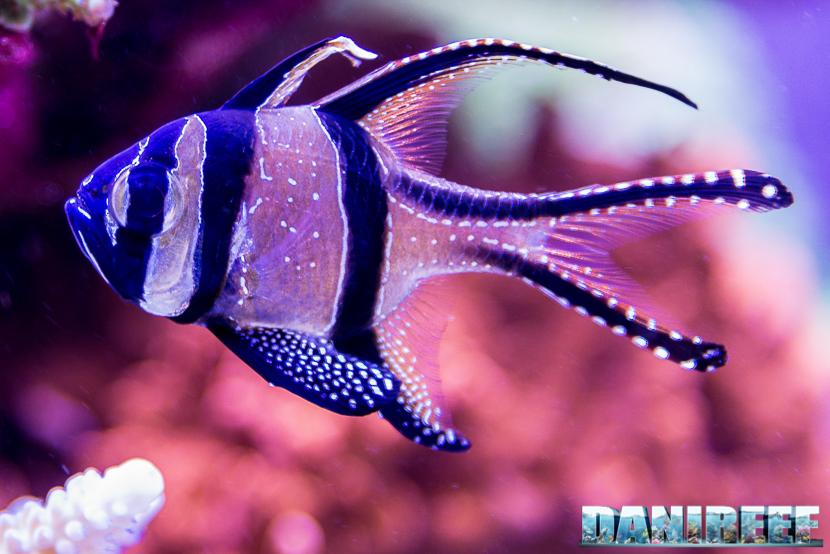 Pterapogon kauderni - il piccolo pesce cardinale adatto a tutti gli acquari