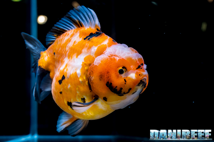 Goldfish show presso Royal Aquarium al Pet Expo e Show 2018 di Bologna