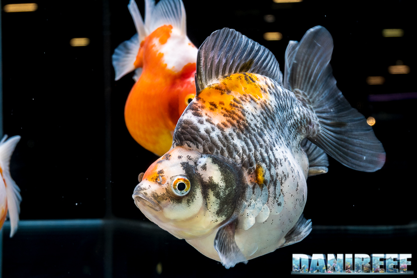 Expo Stand Elenco : Pesci rossi in mostra al goldfish show di royal aquarium a