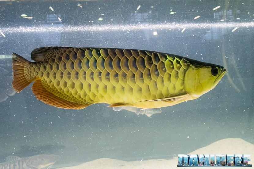 Lo Scleropages formosus il pesce drago asiatico, il famoso Arowana