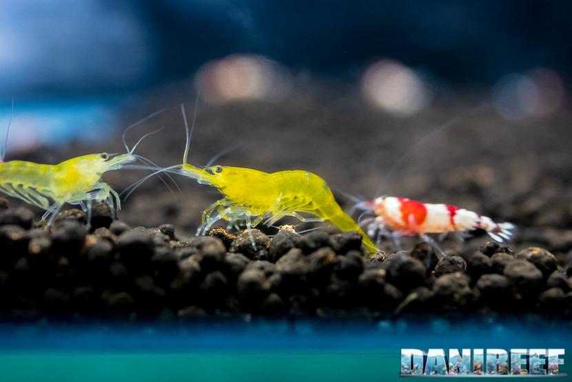Neocaridine davidi yellow