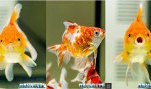 Esposizione Goldfish Petsfestival 2018 con incredibili esemplari di ogni tipo di pesce rosso