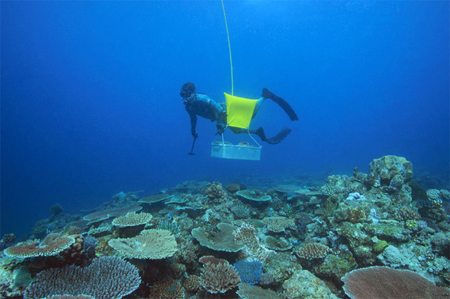 Nic Collecting Coral: credit Ciemon Frank Caballes