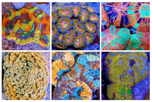 Coralli Australiani da ReefBuilders
