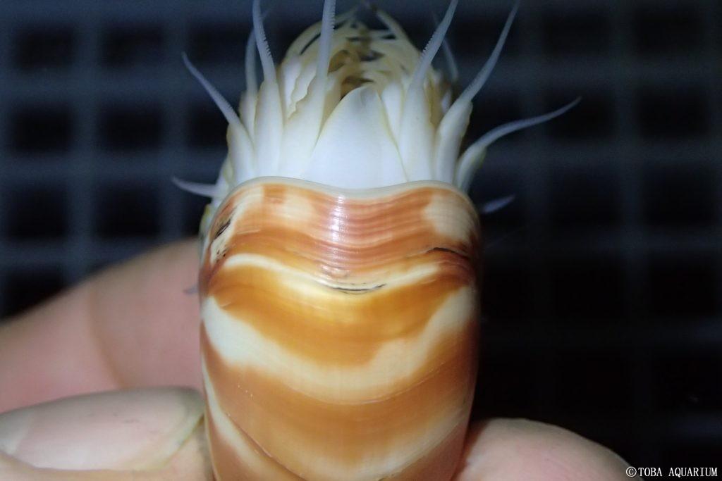 Nautilus nato in cattività al Toba Aquarium in Giappone