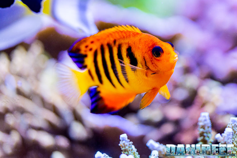 Pesce Angelo nano - Centropyge loriculus