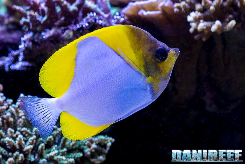 L'acquario marino da 1000 litri di Carlo Mondaini: Pesce farfalla Hemitaurichthys polylepis