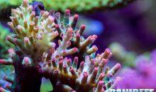 Miti da sfatare: più luce ricevono i coralli meglio è