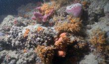 Scoperta la prima barriera corallina Italiana costruita da madrepore non simbiotiche