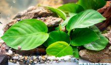 Anubias barteri l'icona delle piante d'acquario