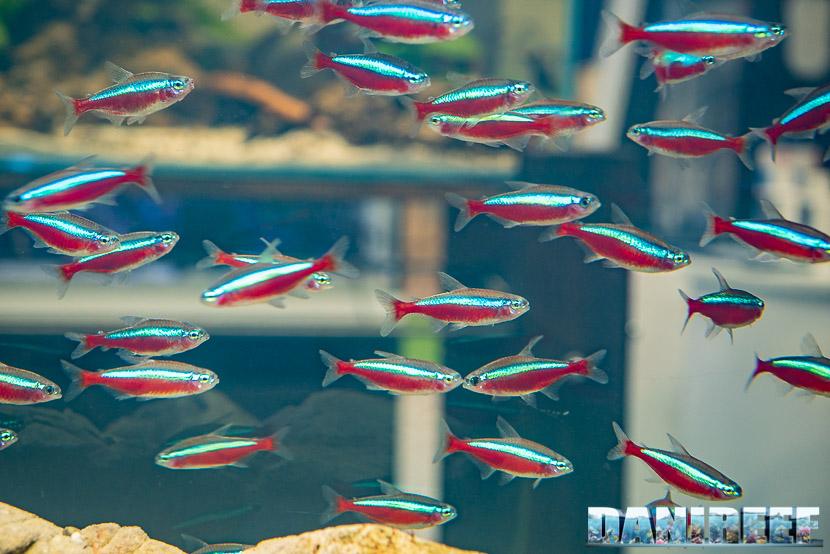 Paracheirodon axelrodi il pesce cardinale - riscopriamolo assieme