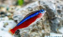 Paracheirodon axelrodi il pesce cardinale – riscopriamolo assieme