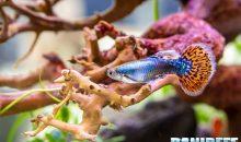 Il Poecilia reticulata la leggenda degli acquari