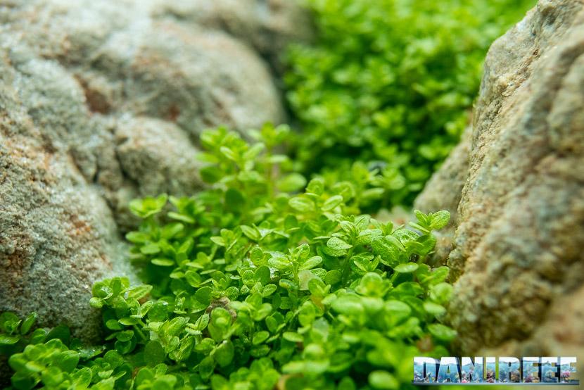 Hemianthus callitrichoides, il prato per acquari direttamente da Cuba
