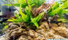Microsorum pteropus la felce di Giava – una pianta facile per tutti