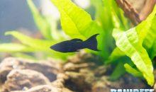 Poecilia sphenops il pesce più bistrattato del mondo